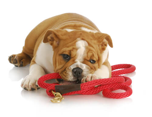 Image result for dog holding his own leash