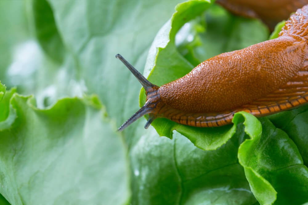 How To Get Rid Of Slugs Or Snails In Your Garden