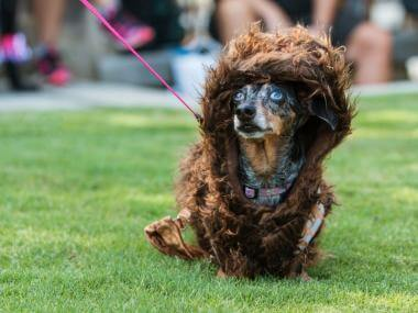 a dog dressed as a wookiee