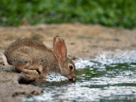 rabbit going to river