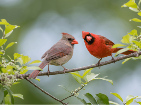 northern cardinal male and female on a branch